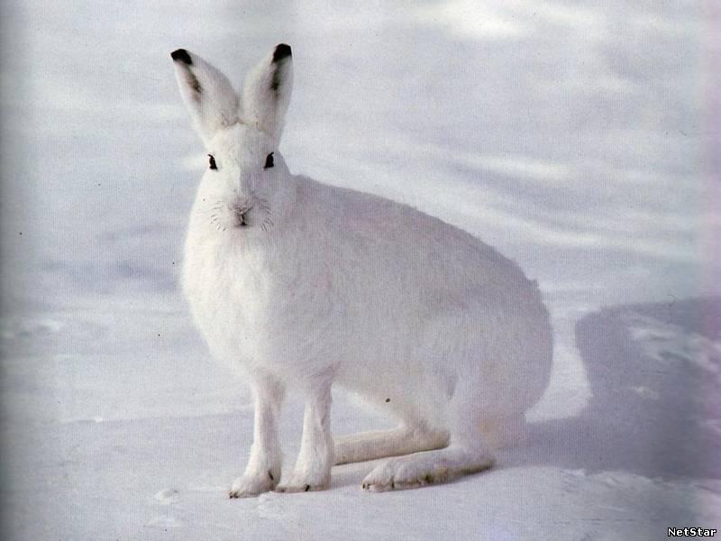 Найшвидша тваринасуші заєць він